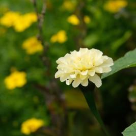 Weiße Studentenblume